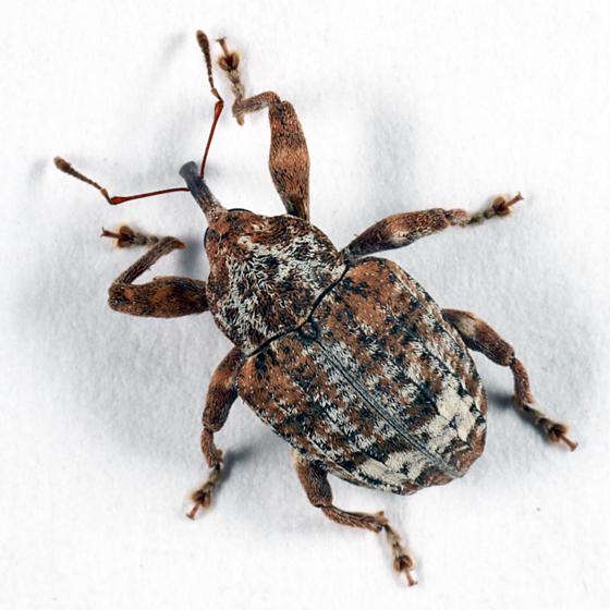 Weevil - Conotrachelus similis
