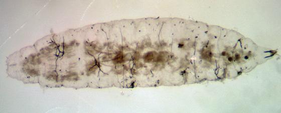 Cecidmomyiidae larva with fungi