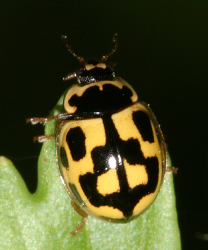 Fourteen-spotted Lady Beetle - Propylea quatuordecimpunctata - female