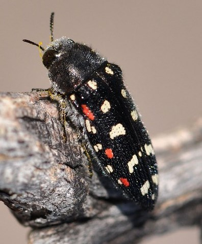 Acmaeodera gibbula