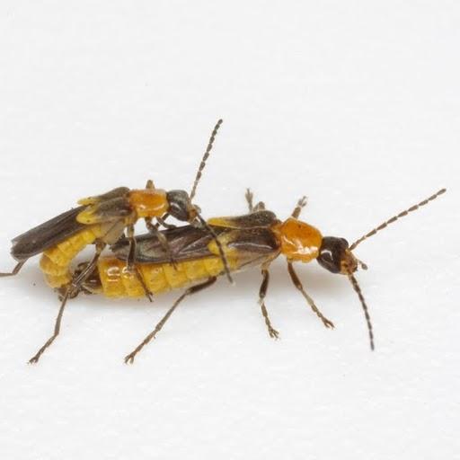 Belotus bicolor Brancucci - Belotus bicolor - male - female