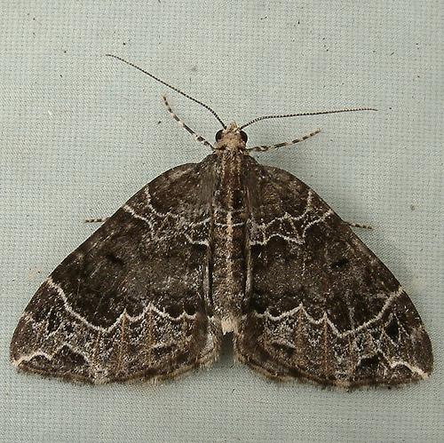 1305 Ecliptopera silaceata - Small Phoenix Moth 7213 - Ecliptopera silaceata