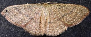 Geometrid10/19 - Pleuroprucha insulsaria