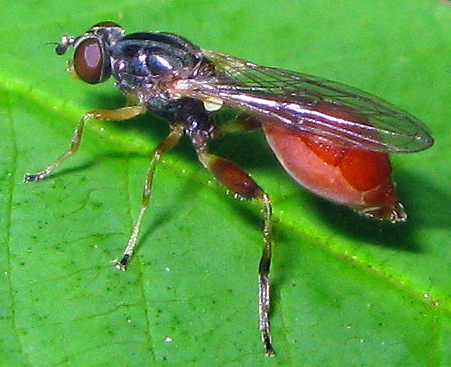 Fly - Sphegina