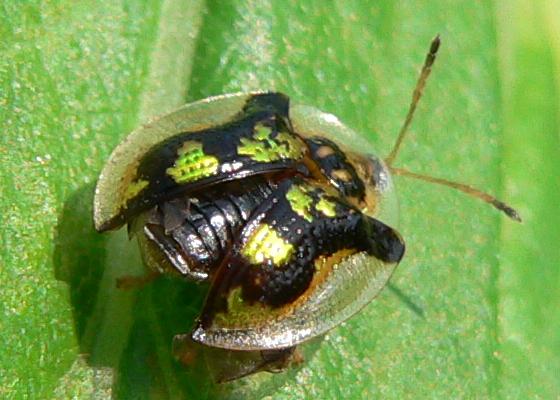 Mottled Tortoise Beetle - Deloyala guttata