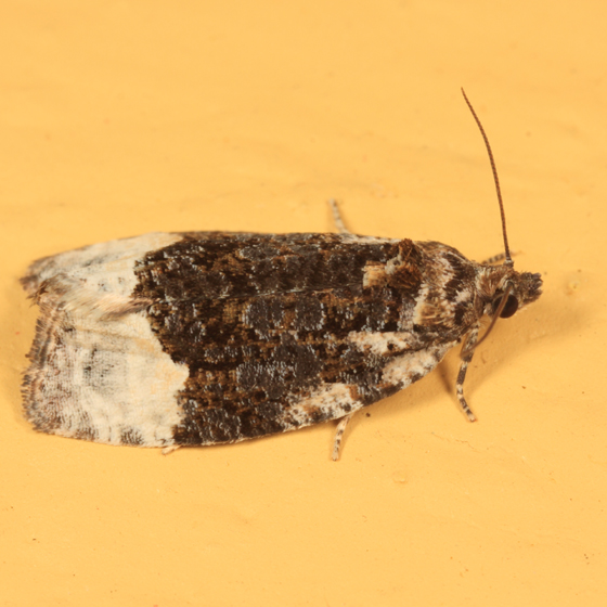 2755 – Funereal Apotomis Moth – Apotomis funerea? - Apotomis funerea
