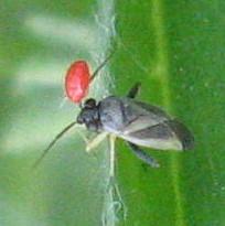 Heteroptera 01 - Chlamydatus obliquus