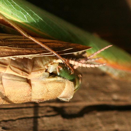 European Mantids Mating Close-up - Mantis religiosa - male - female