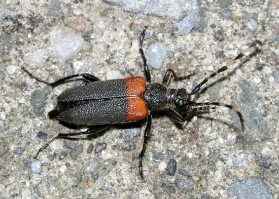 Red horned beetles - photo#6