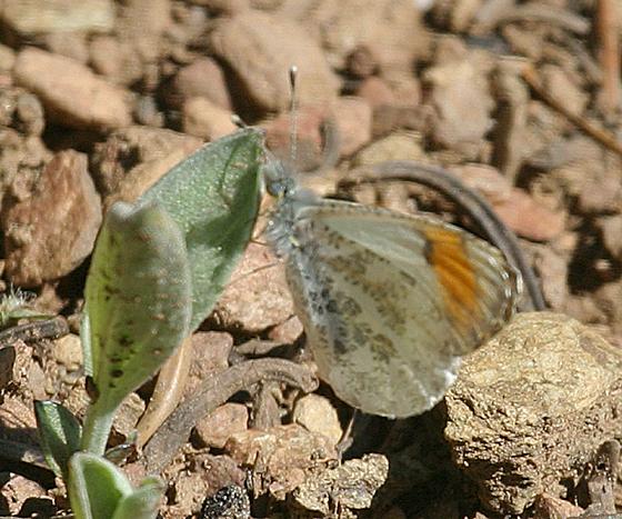 Stella Orangetip - Anthocharis julia
