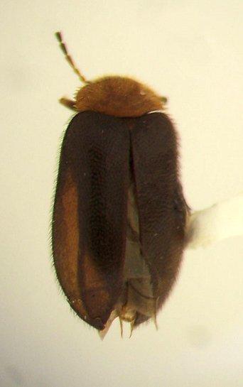 Cyphon collaris - Nyholmia collaris
