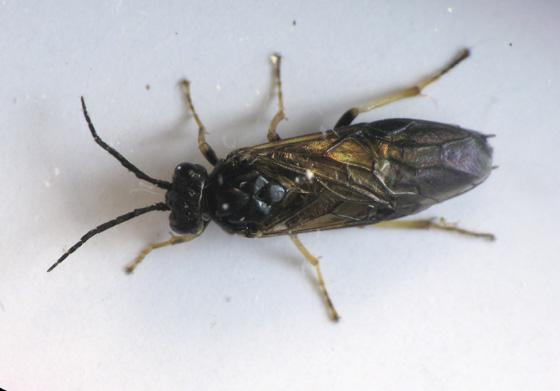 Sawfly larvae on rose bush in December - Cladius difformis - female