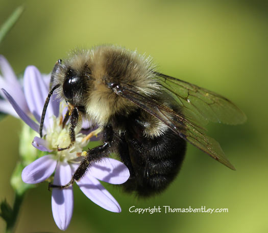 Bombus...which one? - Bombus impatiens - male