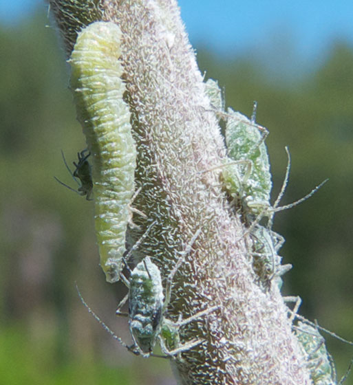 Larva with aphids