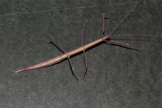 Stick Insect - Diapheromera velii - female
