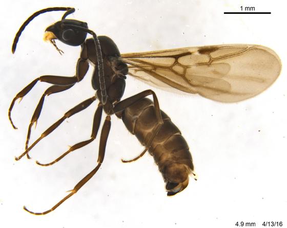 Formicidae 1 - Tapinoma sessile