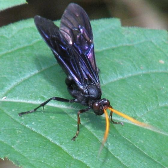 wasp - Gnamptopelta obsidianator