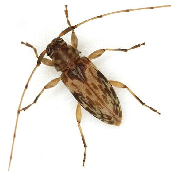 Urgleptes celtis (Schaeffer) - Urgleptes celtis