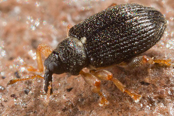 Isochnus populicola - Isochnus sequensi