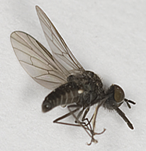 Bee Fly  - Apolysis sigma - male