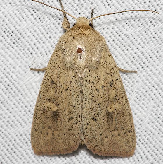 Unarmed Wainscot - Hodges#10459 - Leucania inermis
