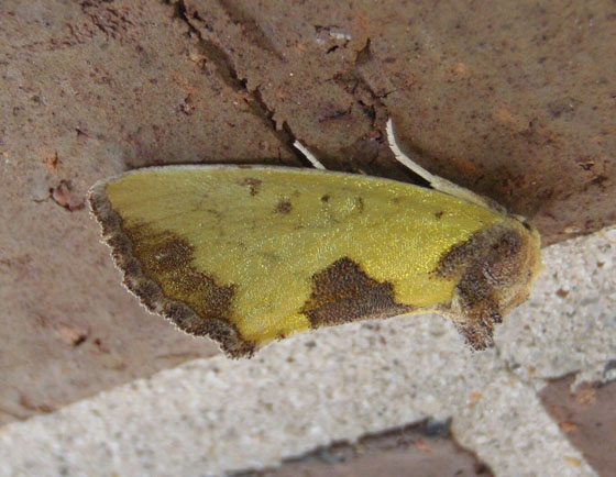 Unknown Moth in South Dakota - Stiria rugifrons