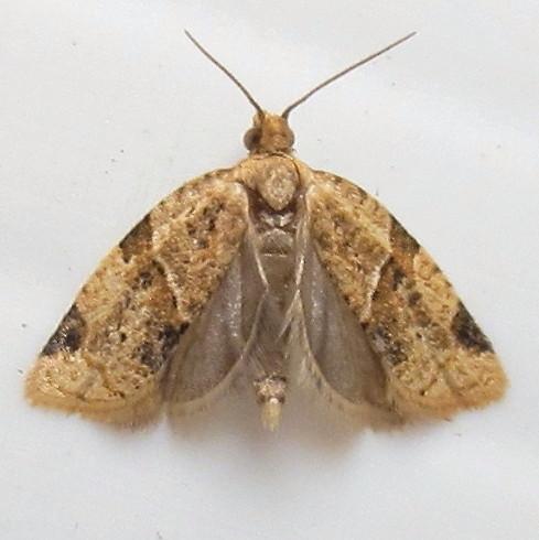 Hodges #3688 - Garden Tortix - Clepsis peritana