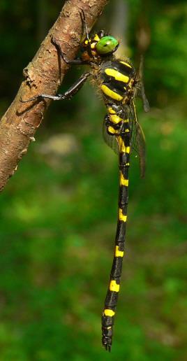Tiger Spiketail - Cordulegaster erronea - male