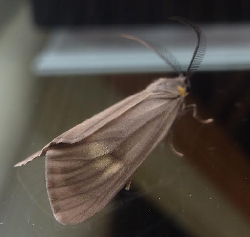 Moth with beautiful antenna - Phryganidia californica