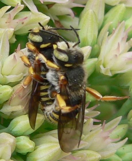 Mating bees - Anthidium oblongatum - male - female