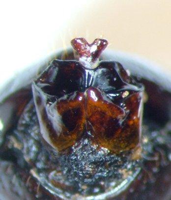 Phyllophaga fervida - female