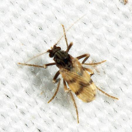 Biting Midge - Corethrella brakeleyi - female