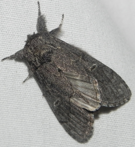7928 – Notodonta torva – Northern Finned Prominent Moth - Notodonta torva