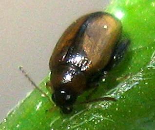 Potato Flea Beetle - Psylliodes affinis