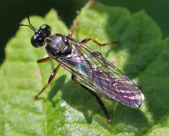 Robber Fly - Dioctria hyalipennis - Dioctria hyalipennis