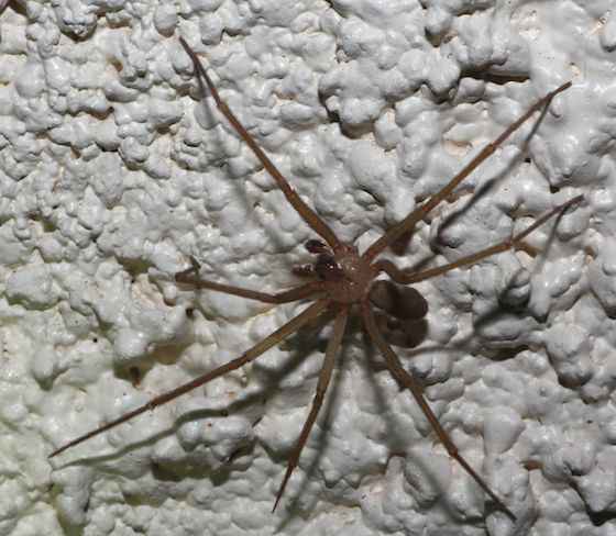 Spider - Loxosceles