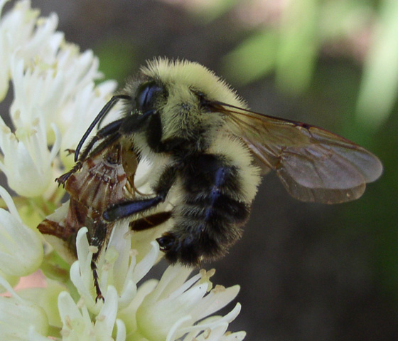Predator and prey - Bombus bimaculatus - male