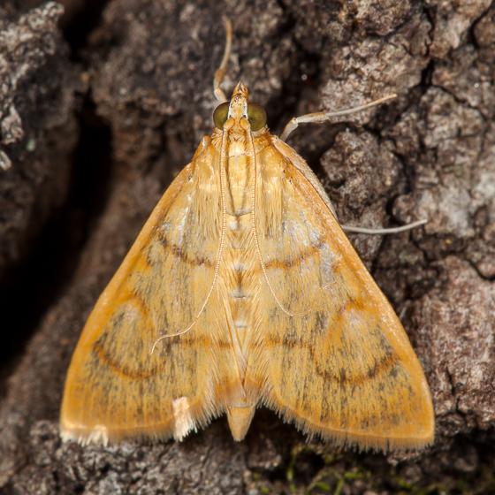 Neohelvibotys arizonensis? - Neohelvibotys arizonensis