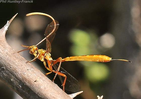 ichneuman - Grotea californica - female