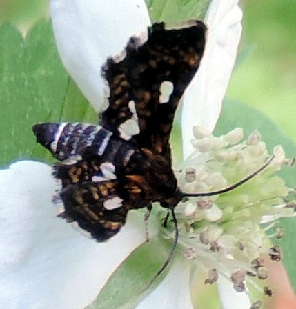 Thyris maculata? - Thyris maculata