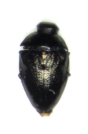 Bup - Pachyschelus laevigatus