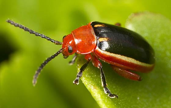 Beetle id request - Disonycha discoidea