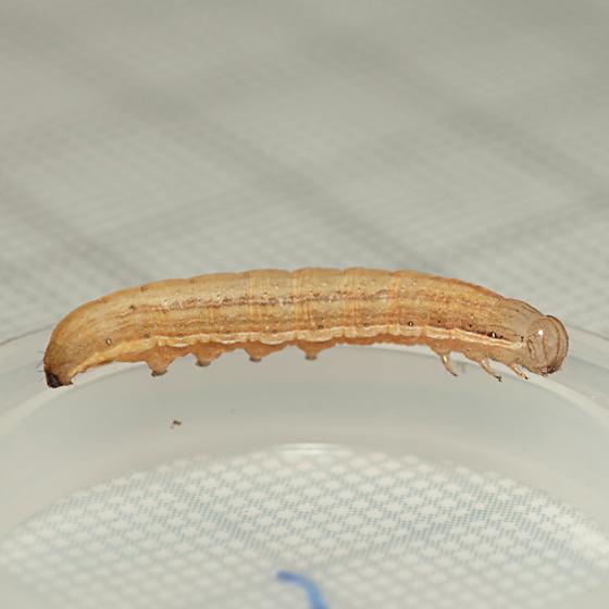 Day 17 -- Caterpillar A - Anicla infecta
