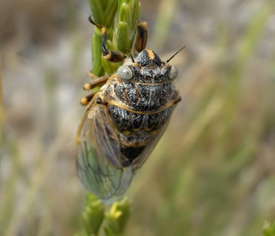 Cicada - Okanagana vanduzeei
