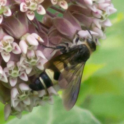 Wasp - Campsomeris plumipes