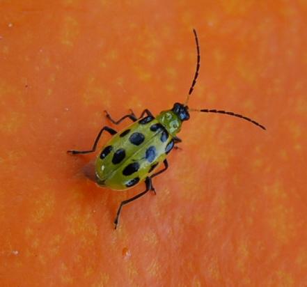 beetle on pumpkin - Diabrotica undecimpunctata