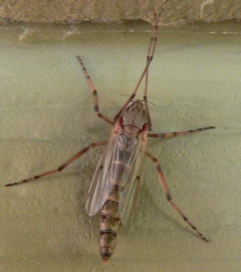 midge - female