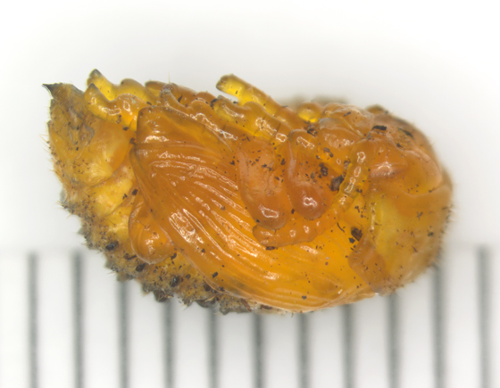 Colorado Potato Beetle, pupa, lateral - Leptinotarsa decemlineata