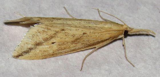Long-beaked Donacaula - Hodges#5319 - Donacaula longirostrallus