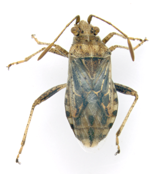 Rhopalidae, dorsal - Stictopleurus punctiventris